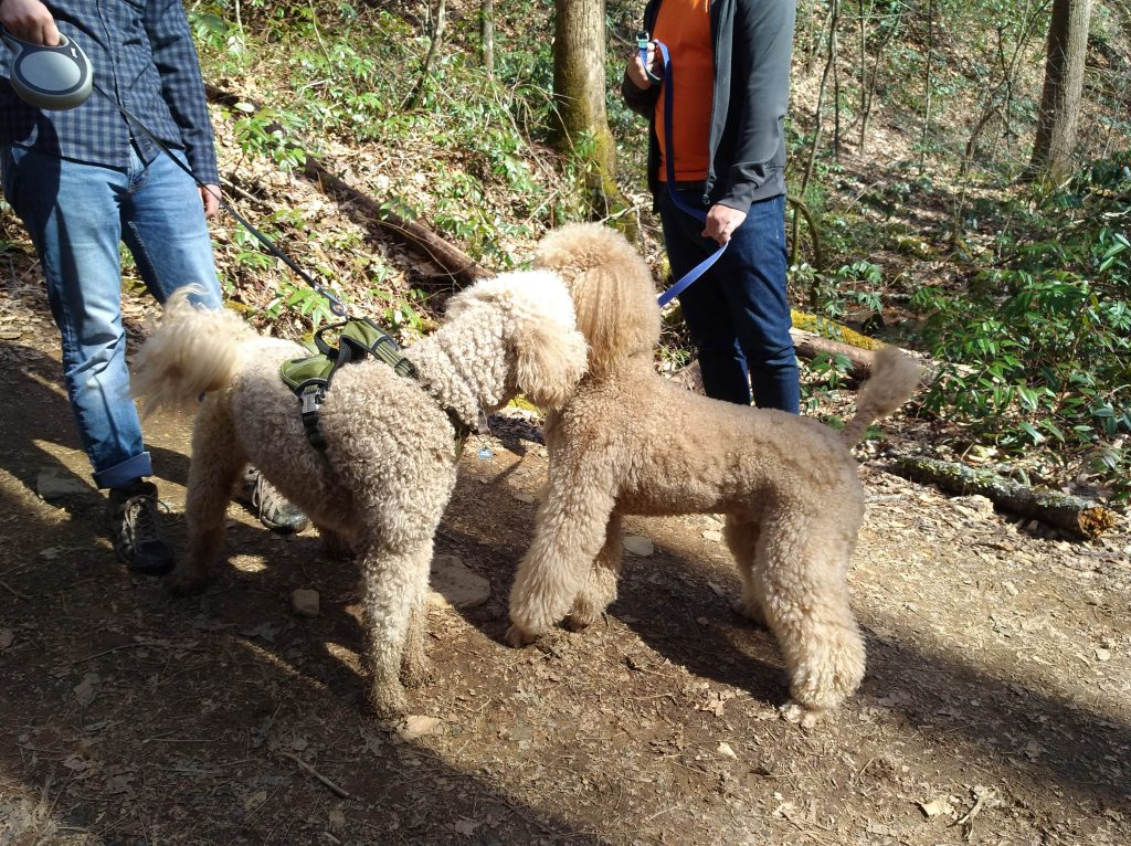 dogsitting_poodles